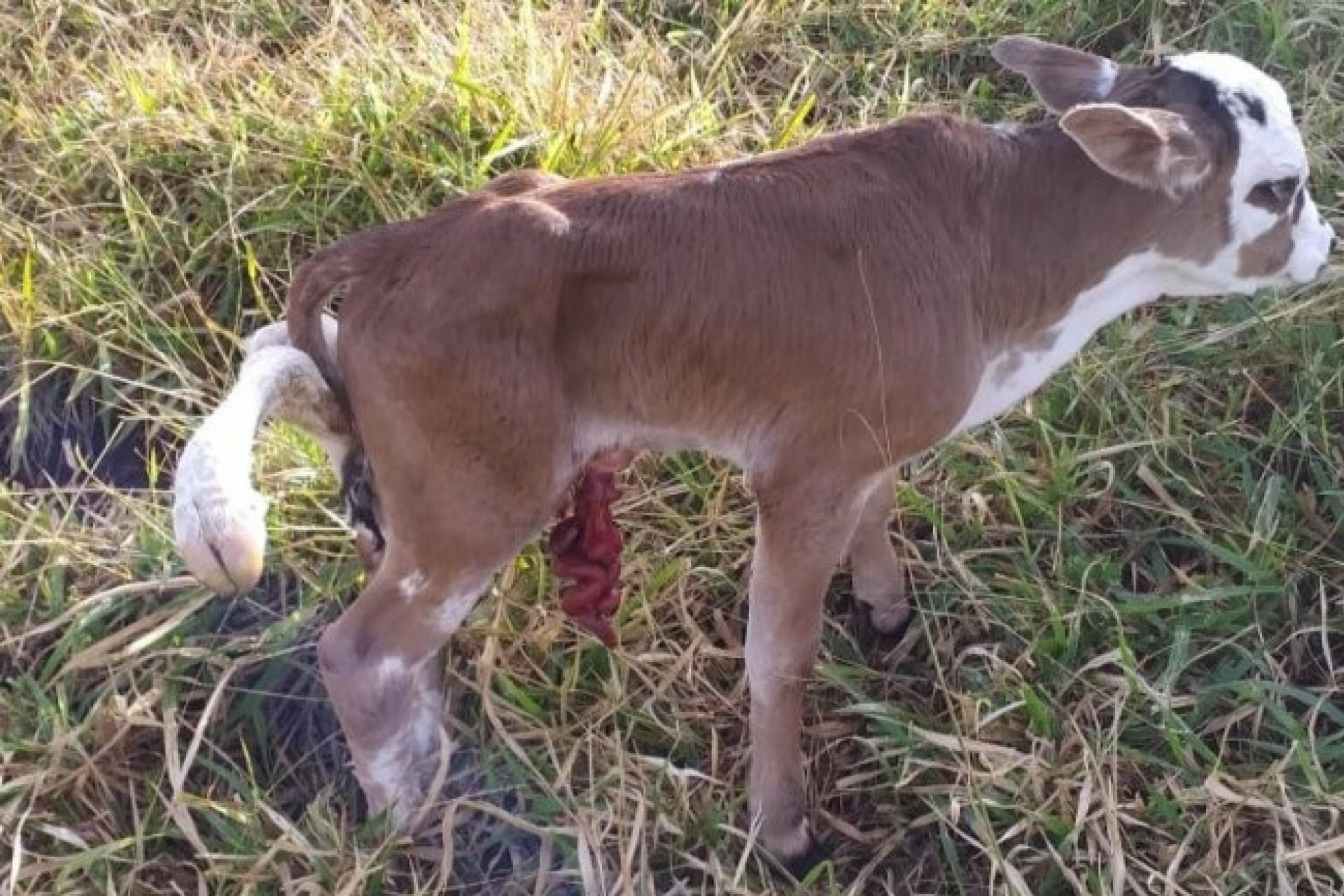 Bezerro de seis patas surpreende fazendeiro de Santa Helena; assista ao vídeo do animal inusitado