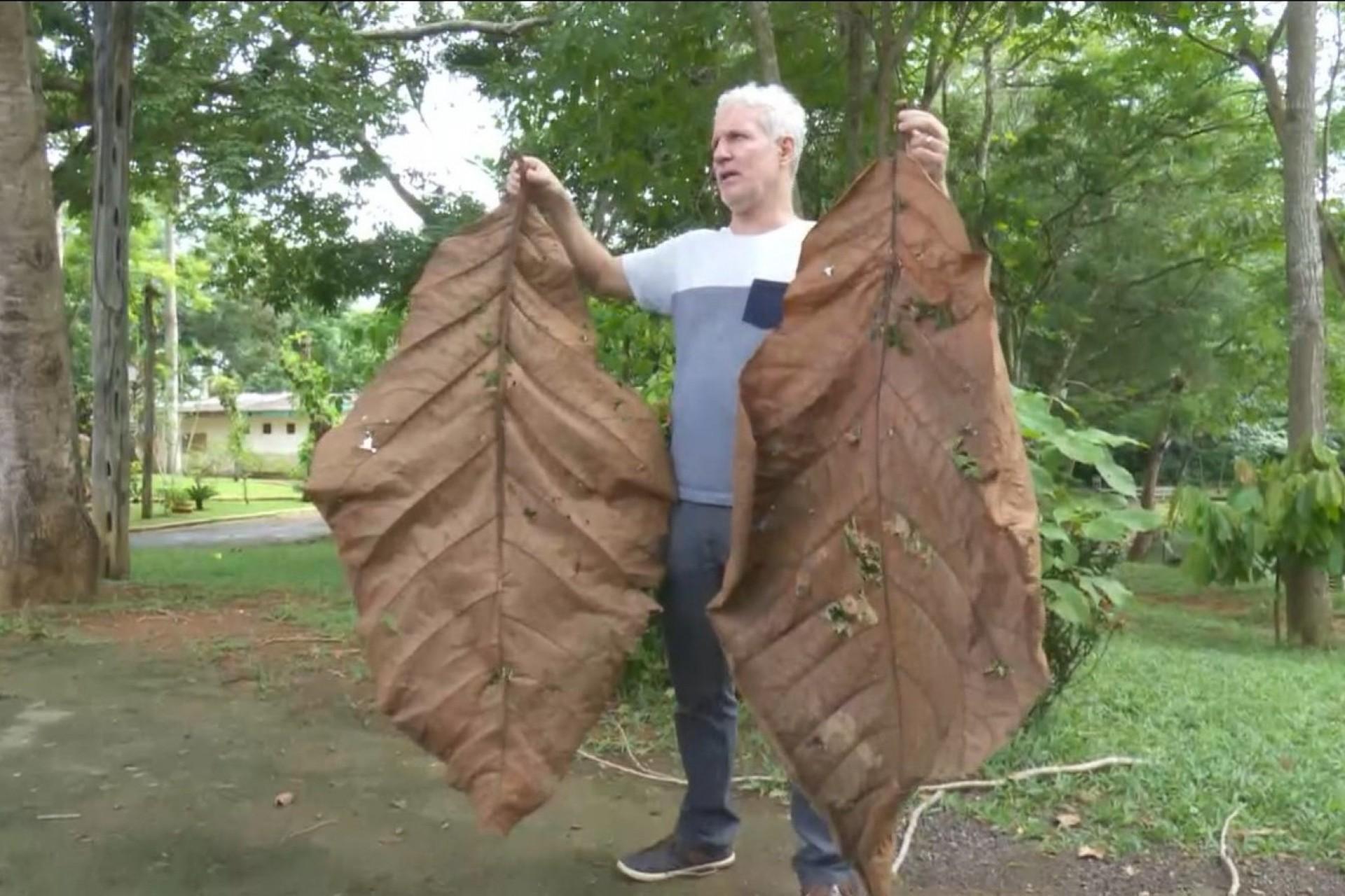 Em extinção, árvore que produz folha de 2,5m é achada em parque