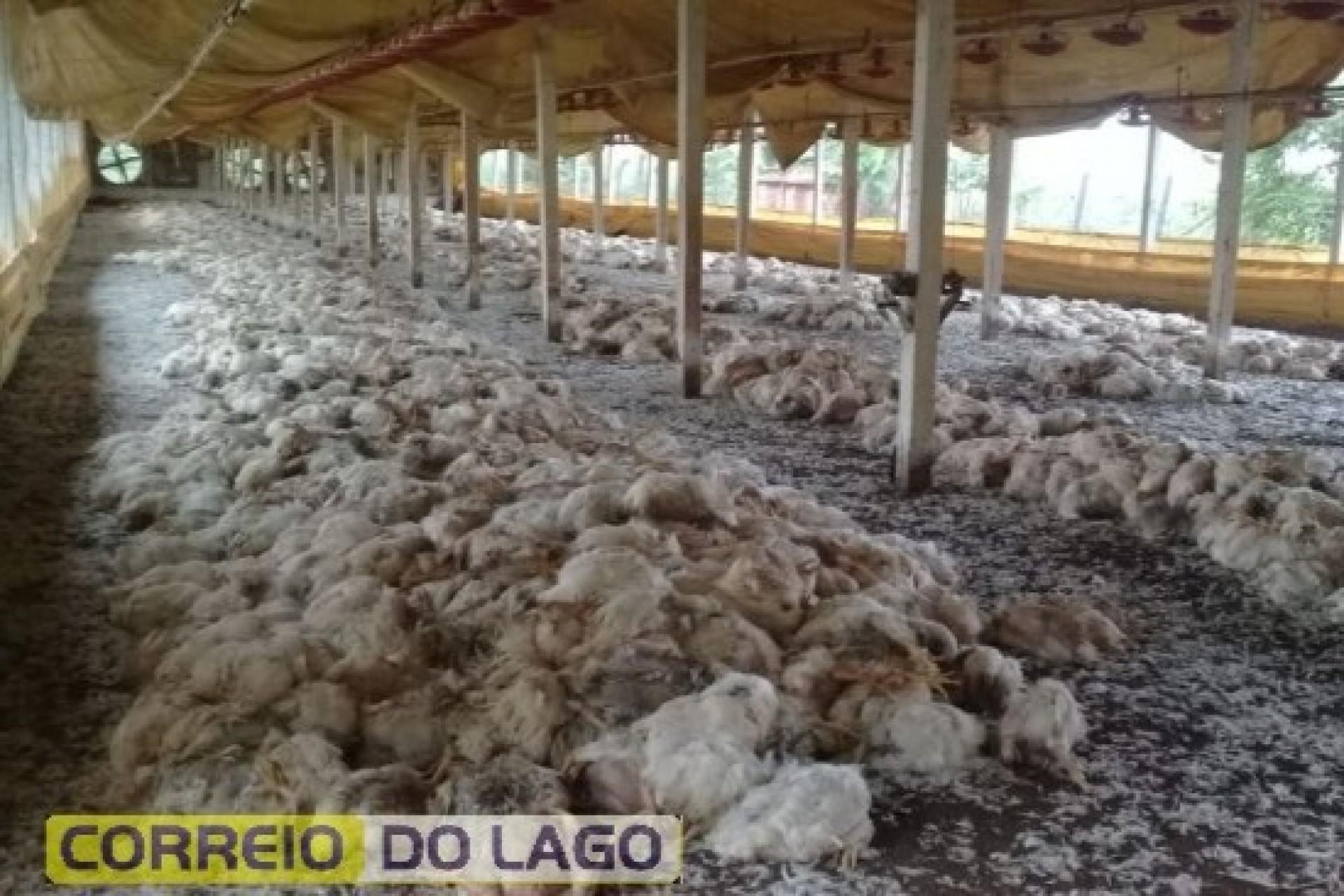 No dia da entrega, frangos morrem em aviário por falta de energia elétrica em Santa Helena