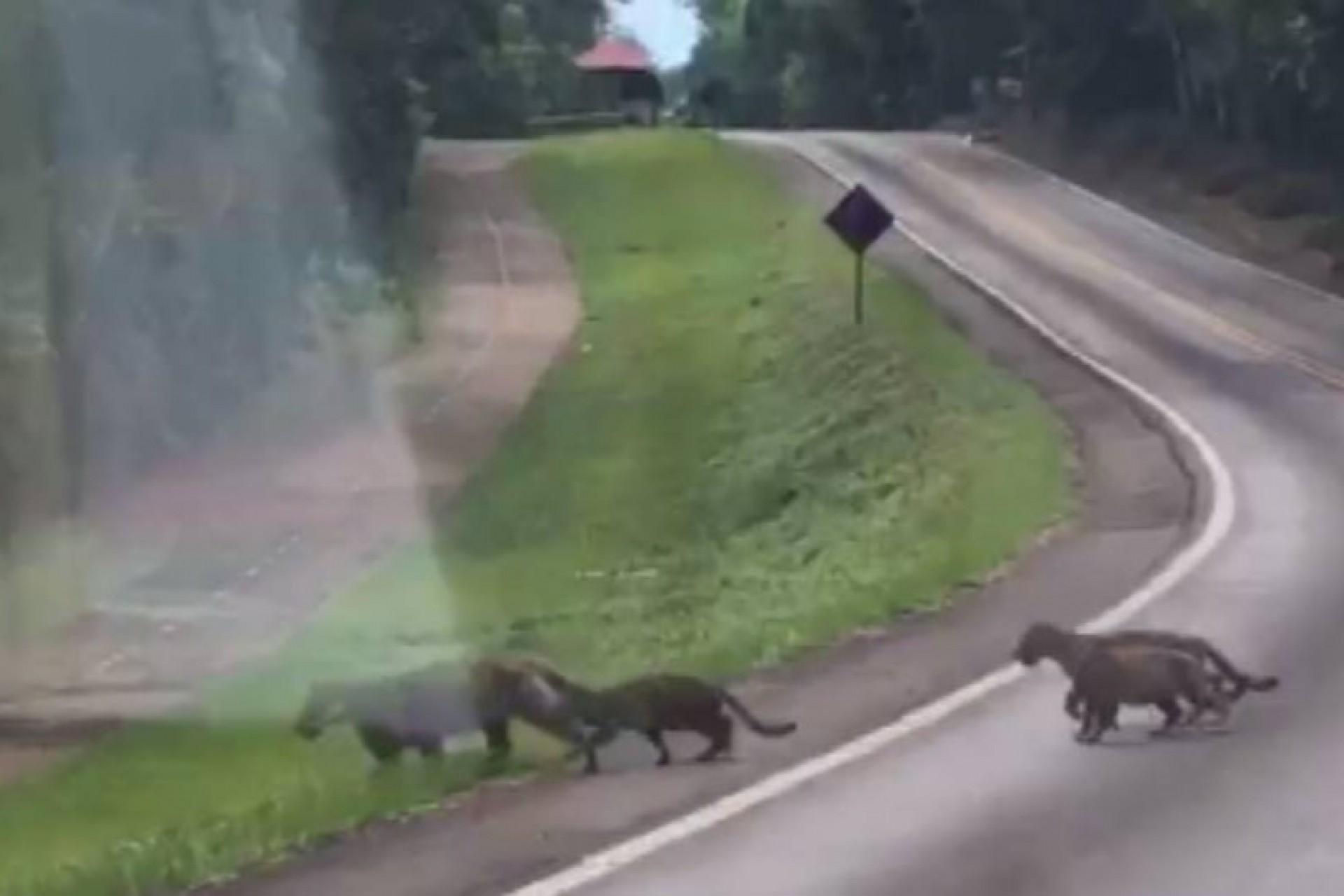Vídeo flagra onças pintadas no Parque Nacional do Iguaçu