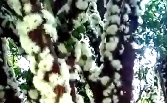 A bela florada da jabuticabeira