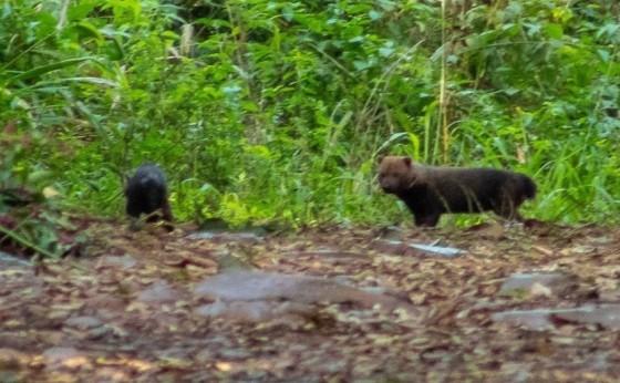 Ameaçada de extinção, espécie cachorro-vinagre é vista pela primeira vez no RS