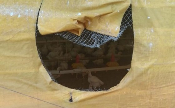 Aviário é invadido e frangos são furtados no interior de São Clemente