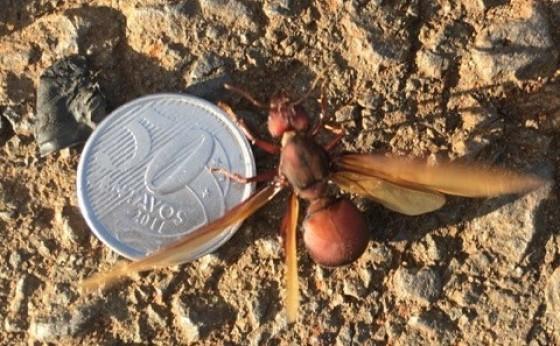 'Chuva de formigas' intriga moradores de vários bairros de Cascavel; Adapar explica