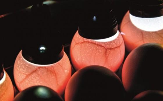 Empresa de Cascavel vai fornecer ovos para produção da Butanvac