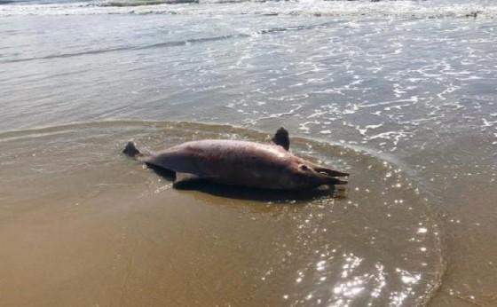 Golfinho ameaçado de extinção é encontrado morto em praia do Paraná