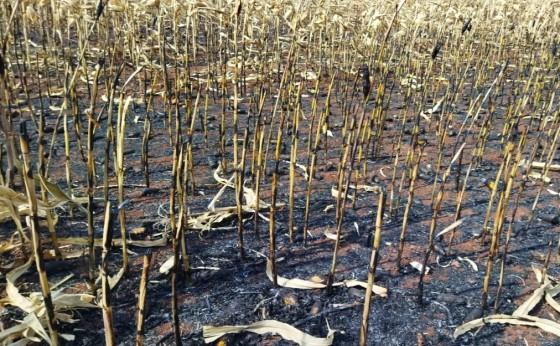 Incêndio em milharal próximo da São Jorge em São Miguel do Iguaçu. Veja o vídeo