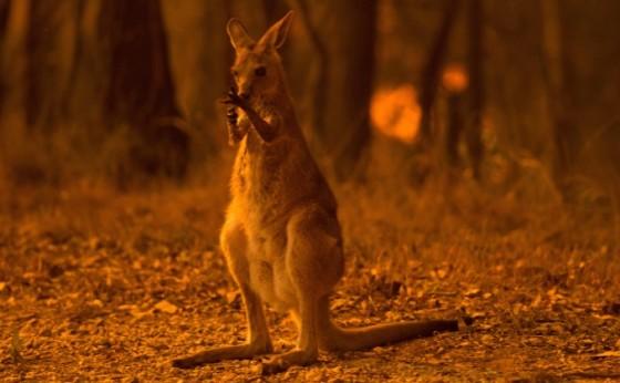 Incêndios na Austrália matam meio bilhão de animais; temperaturas sobem