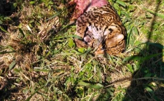 Jaguatirica é encontrada morta na rodovia PR 495 entre Medianeira e Missal