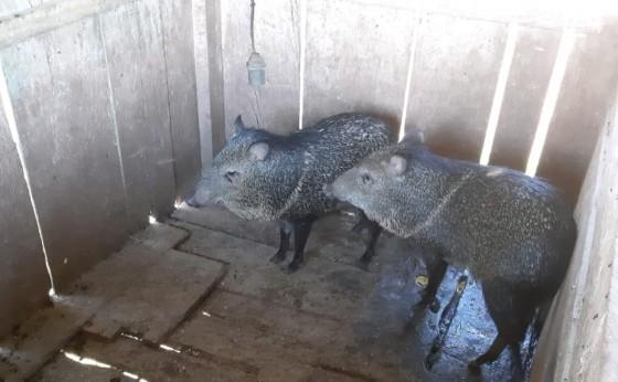 Morador de São Miguel é multado em R$ 10 mil por manter animais silvestres em cativeiro