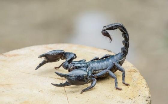 Moradores se assustam com a presença de escorpiões dentro de casa em Medianeira