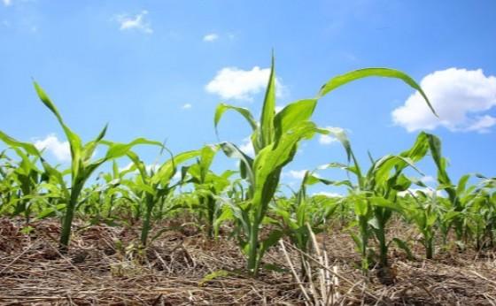 Plantio atrasado da safrinha no PR reduziu a produção esperada pelo Deral e déficit hídrico preocupa