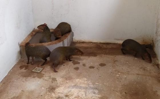 Polícia Ambiental descobre cativeiro de pacas e cutias, no Oeste paranaense