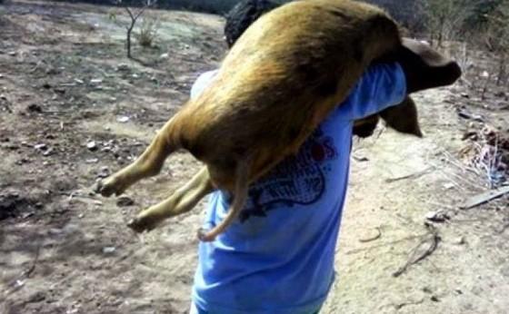 Porcos são furtados em propriedade rural de Santa Helena