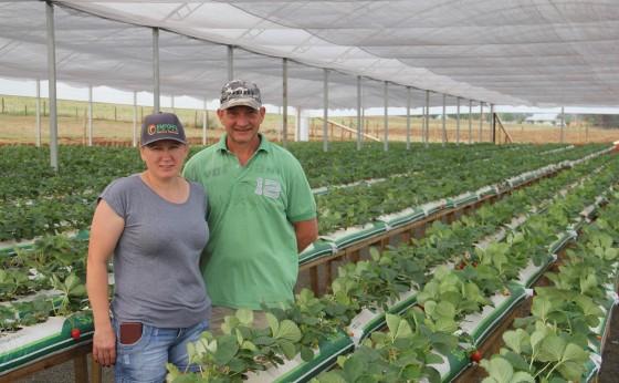 Produção de morango como opção de renda em pequena propriedade