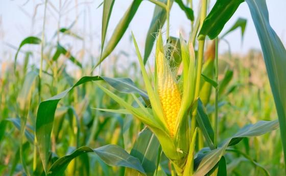 Sicredi Vanguarda disponibiliza contratação do custeio do milho safrinha 2019