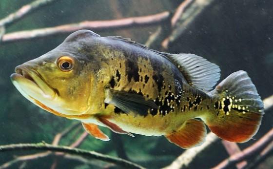 Peixes introduzidos causam desequilíbrio em ecossistemas onde não são nativos